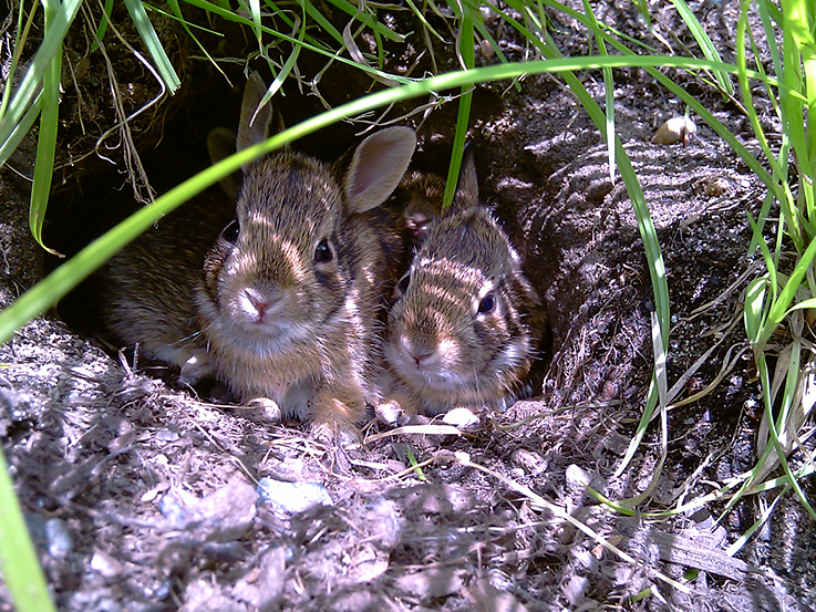 Baby rabbits at Brooklyn Botanic Garden