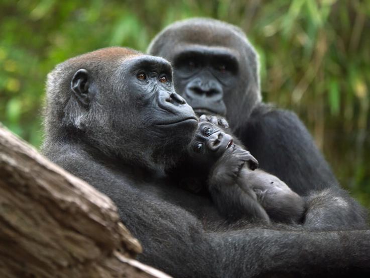 A gorilla family of three